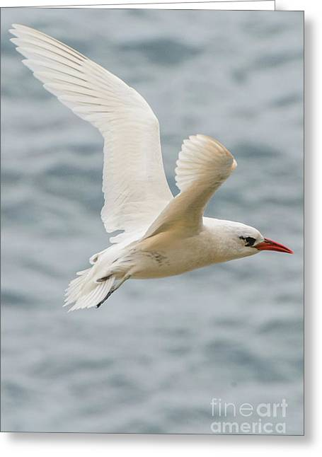 Tropic Bird 2 Greeting Card by Werner Padarin