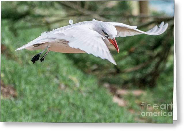 Tropic Bird Greeting Card by Werner Padarin