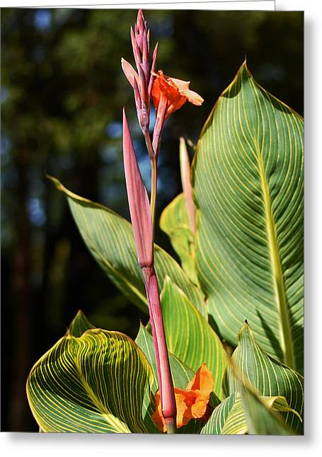 Tropical Beauty - Orange Canna Greeting Card by Connie Fox