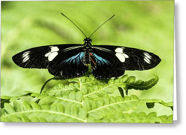Tropical Buttefly With Wings Spread Greeting Card by Douglas Barnett