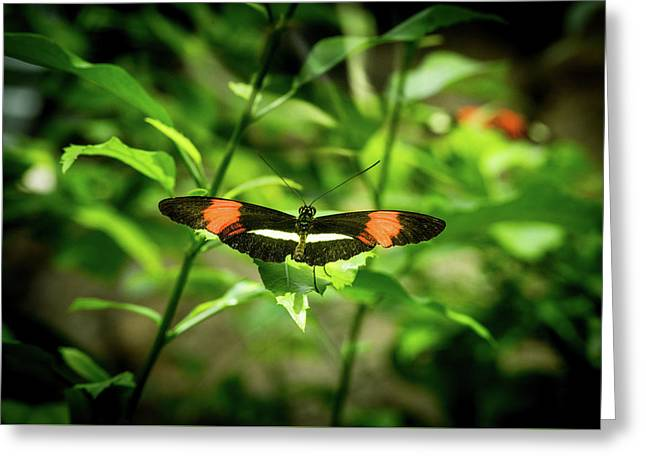 Tropical Butterfly With Wings Spred Wide Greeting Card by Douglas Barnett