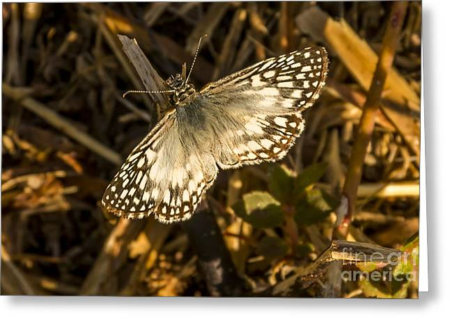 Tropical Checkered-skipper Greeting Card by Nancy L Marshall