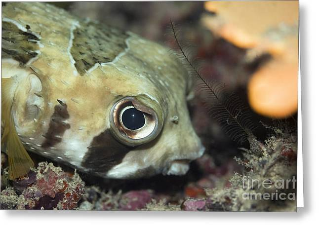 Balloonfish Greeting Cards - Tropical fish Porcupinefish  Greeting Card by MotHaiBaPhoto Prints