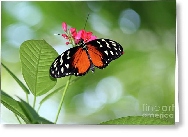 Tropical Hecale Butterfly Greeting Card