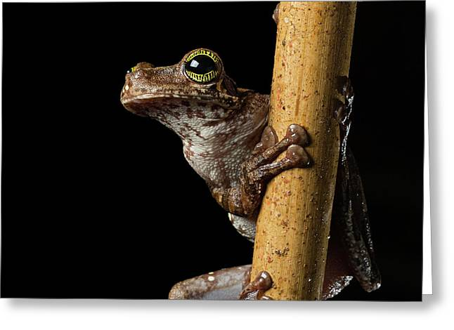 Tropical Tree Frog - Osteocephalus Taurinus Greeting Card