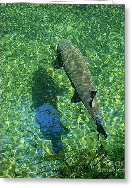 Trout Shadow Greeting Card