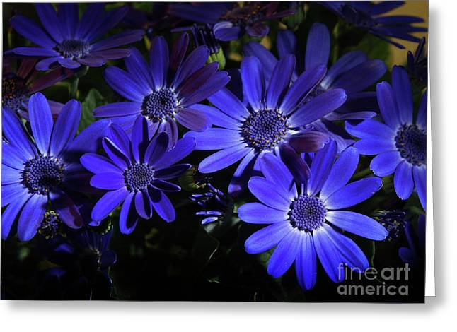 True Blue Pericallis Senetti Flowers Greeting Card by Dorothy Lee