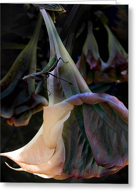 Framed Print Greeting Cards - Trumpet Flower Greeting Card by Rob Outwater
