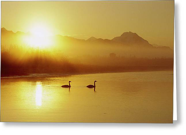 Trumpeter Silhouette Greeting Cards - Trumpeter Swan Cygnus Buccinator Pair Greeting Card by Michael Quinton