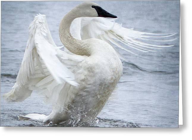 Trumpeter Swan - Misty Display 2 Greeting Card