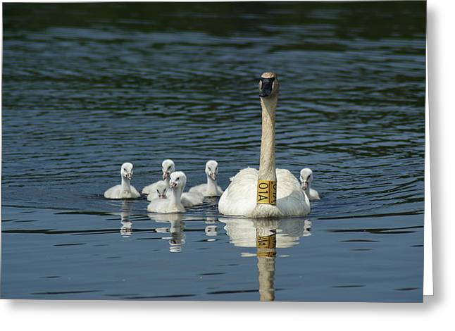 Trumpeter Swan With Cygnets Greeting Card by Ron Read