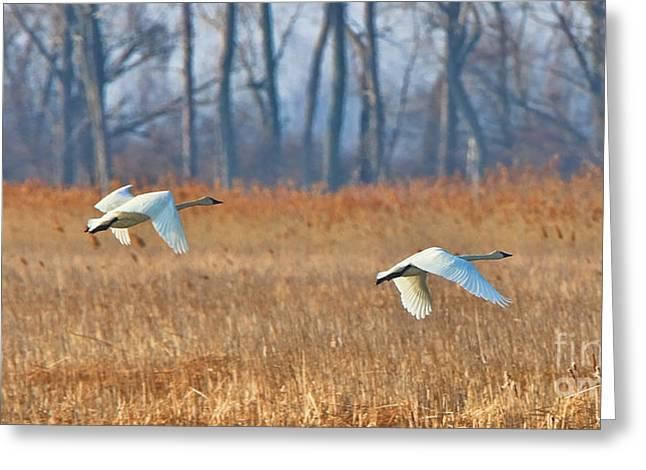 Trumpeter Swans In Flight Over Marsh  7382 Greeting Card by Jack Schultz