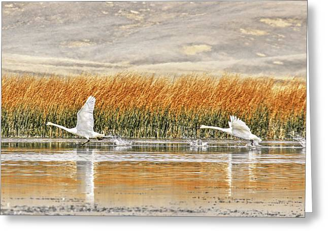 Trumpeter Swans  Greeting Card by Jennie Marie Schell