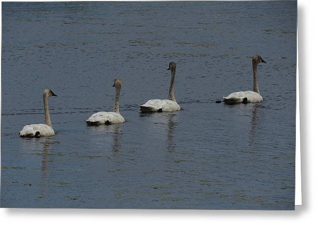 Greeting Card featuring the photograph Trumpeter Swans by Sandra LaFaut