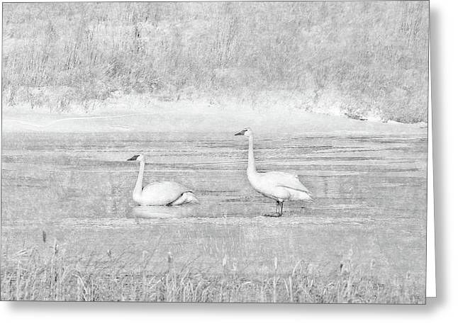 Greeting Card featuring the photograph Trumpeter Swan's Winter Rest Gray by Jennie Marie Schell