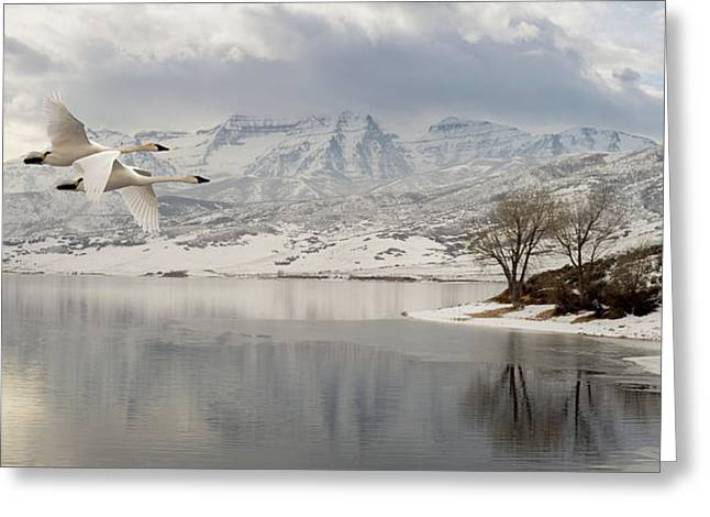 Trumpeter Swans Wintering At Deer Creek Greeting Card