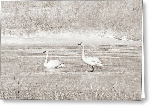 Greeting Card featuring the photograph Trumpeter Swan's Winter Rest Beige by Jennie Marie Schell