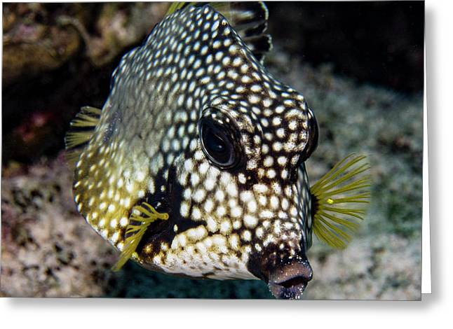 Greeting Card featuring the photograph Trunkfish Portrait by Jean Noren