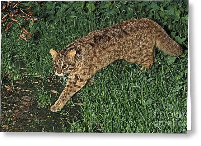 Tsushima Leopard Cat Greeting Card by Gerard Lacz
