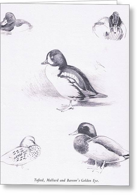 Tufted Ducks, Mallards, Barrows Goldeneye Greeting Card