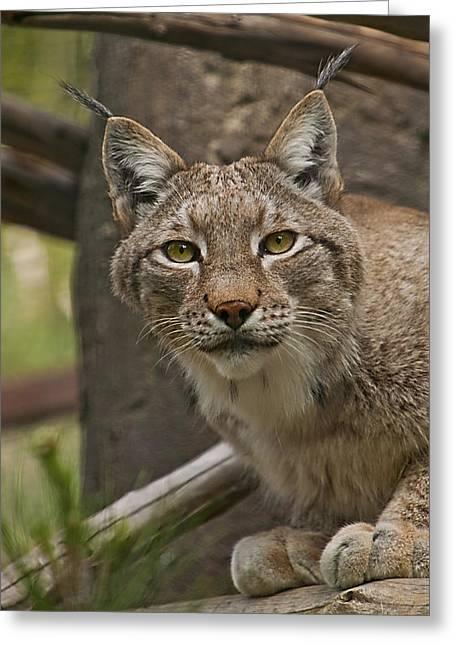 Tufted Russian Lynx Greeting Card by Lynn Andrews