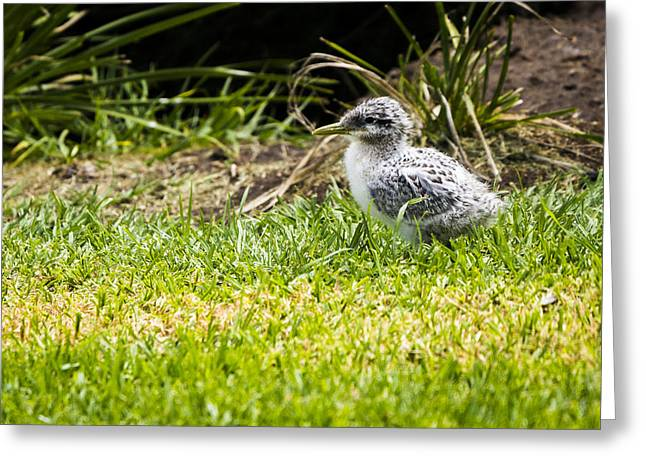 Crested Tern Chick - Montague Island - Nsw - Australia Greeting Card