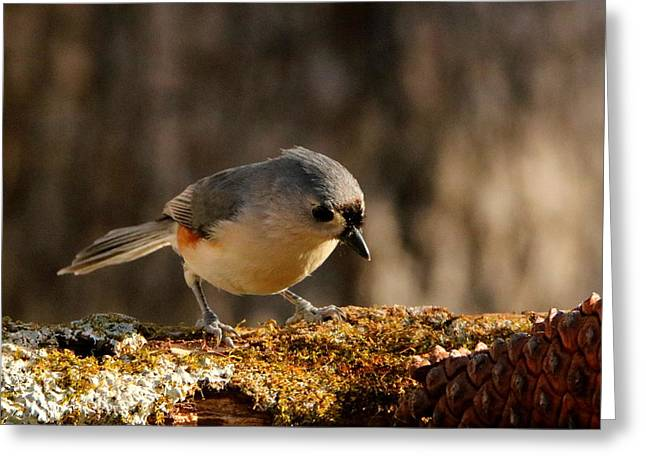 Tufted Titmouse In Fall Greeting Card