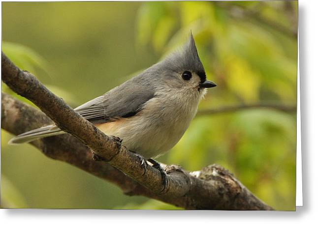 Tufted Titmouse In Sugar Maple Greeting Card