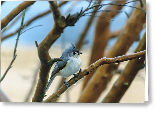Tufted Titmouse In Tree Greeting Card