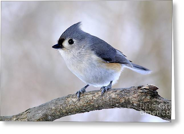 Tufted Titmouse On Dogwood 2 Greeting Card