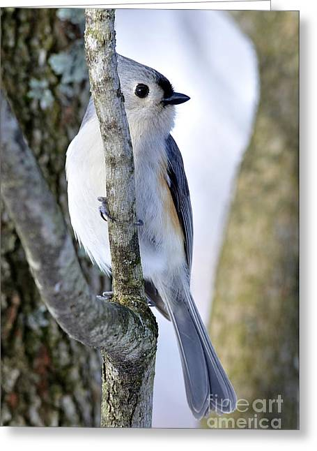 Tufted Titmouse On Dogwood Greeting Card by Thomas R Fletcher