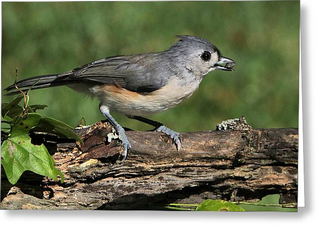 Tufted Titmouse On Tree Branch Greeting Card