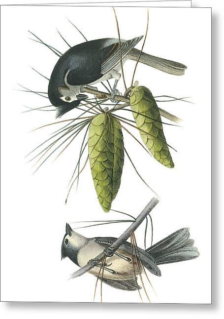 Tufted Titmoust Greeting Card by John James Audubon