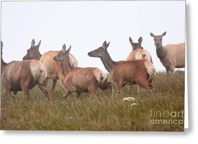 Tule Elks Into The Fog Greeting Card