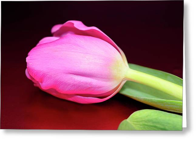 Easter Flowers Greeting Cards - Tulip against Deep Red Greeting Card by Laura Mountainspring
