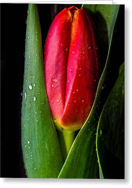 Tulip And Droplets Greeting Card