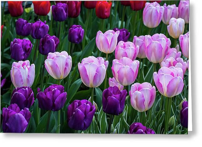 Tulip Blush Greeting Card