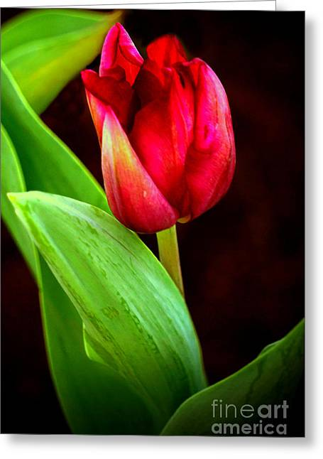 Tulip Caught In The Light Greeting Card