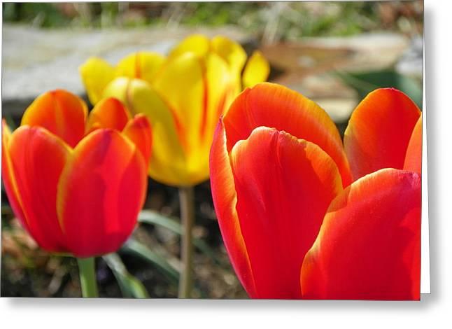 Tulip Celebration Greeting Card by Karen Wiles