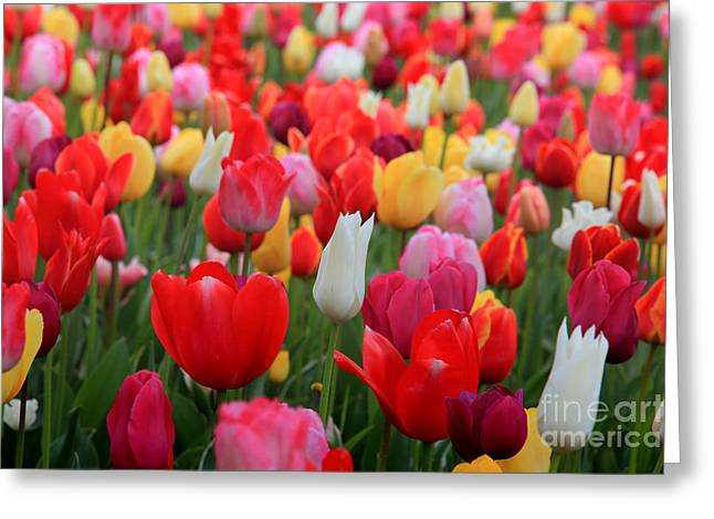 Tulip Color Mix Greeting Card