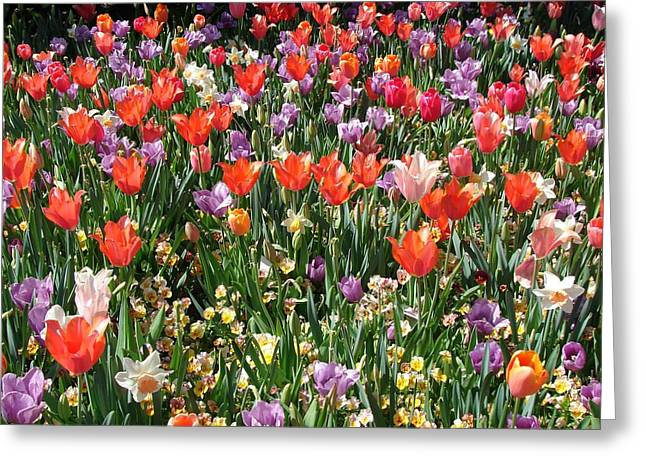 Tulip Delight 2 Greeting Card by Shiana Canatella