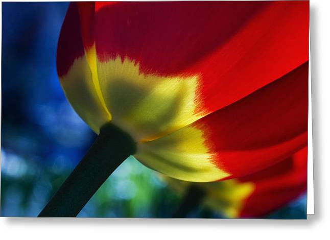 Tulip Expression Wide Greeting Card by Shawn Young