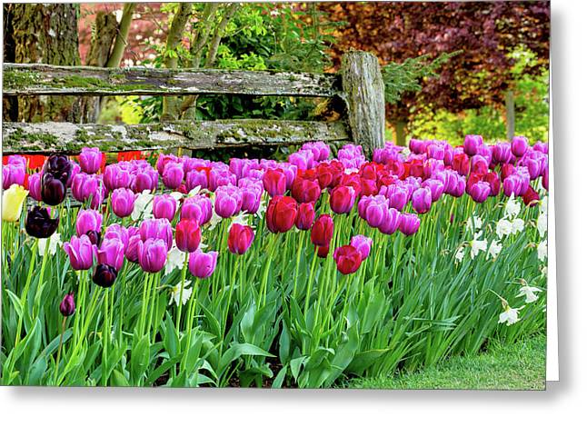 Tulip Fence Greeting Card by Mary Jo Allen