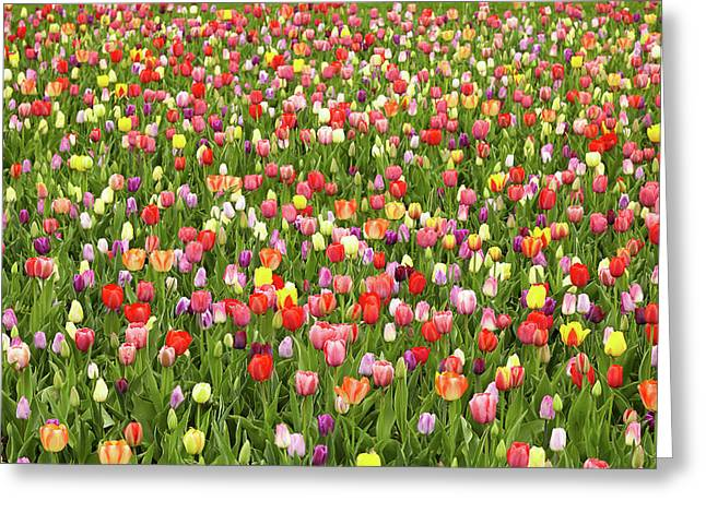 Tulip Field Greeting Card