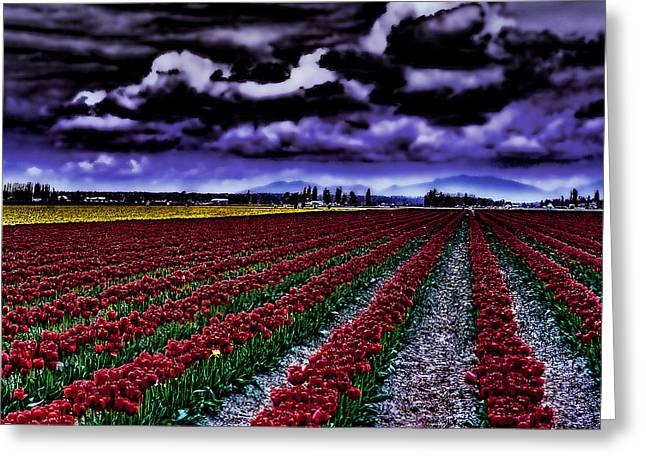 Tulip Fields Greeting Card by David Patterson