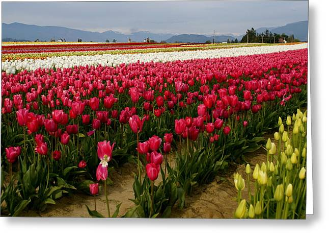 Tulip Fields Greeting Card by Sonja Anderson