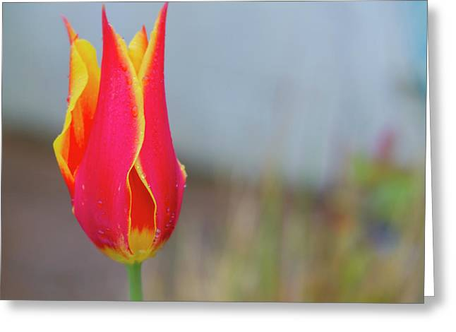 Tulip Fire Greeting Card