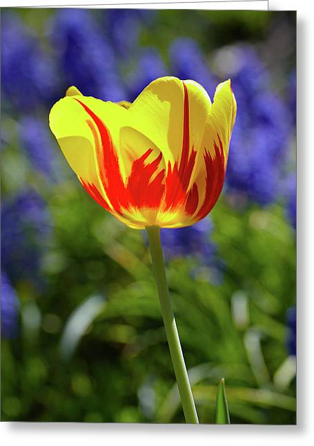Tulip Flame Greeting Card