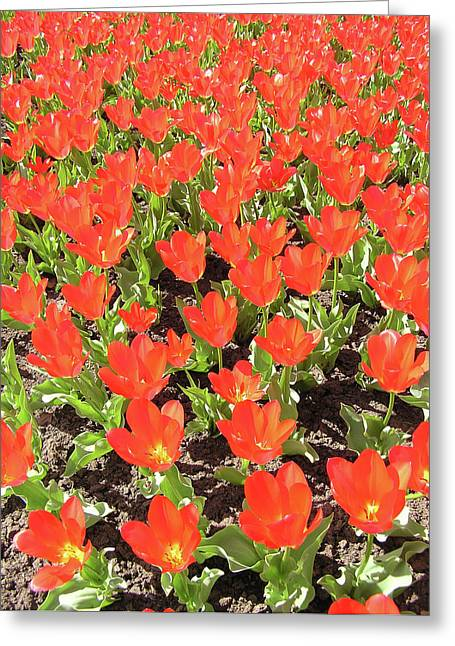 Tulip Garden Greeting Card by Richard Mitchell