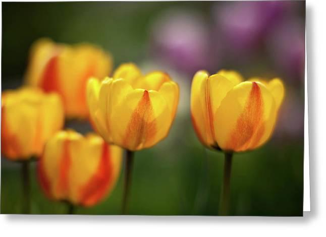 Tulip Glow Greeting Card